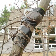 Chestnut tree wrapped with mud packing