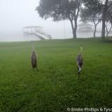 Sandhill cranes in the fog