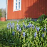Swedish bluebells