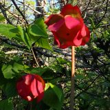 Pitcher plant flower.